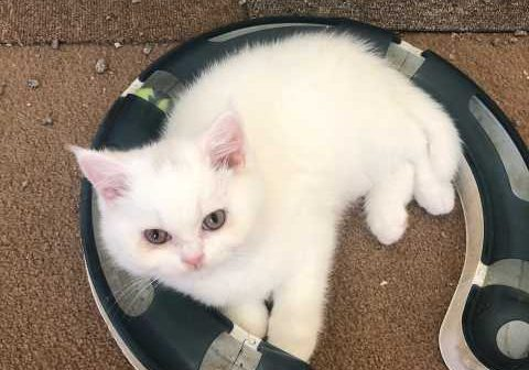 white-british-shorthair-kitten-5fadb47c321ad